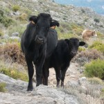 Free-roaming cattle