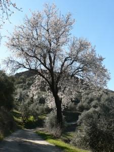 Spring blossom, Beas de Granada