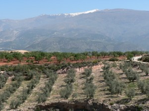 Olive groves and snow-capped Caballo beyond